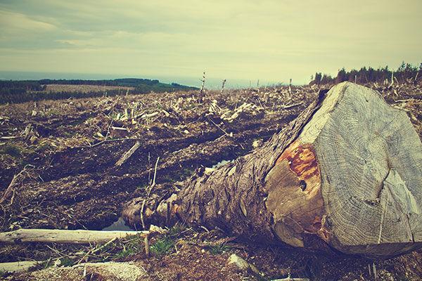 Deforestazione, diboscamento, alberi tagliati