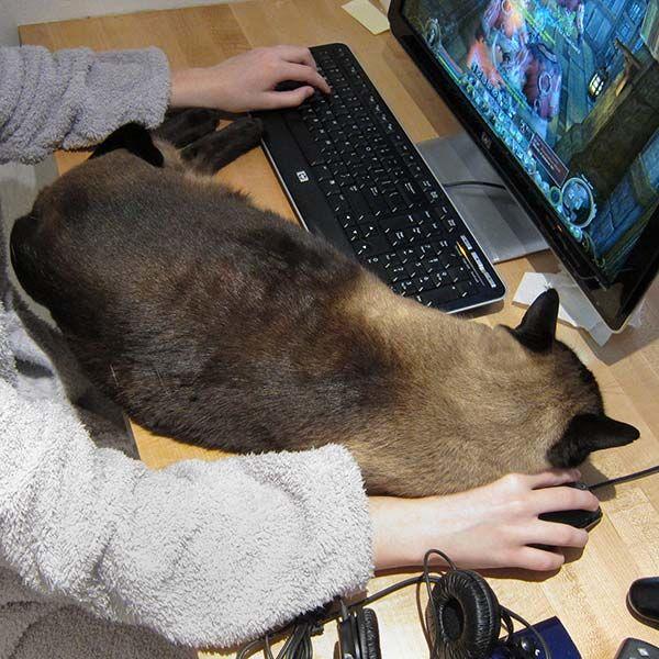Gatto su PC, gatto su tastiera, gatto su mouse, gatti gamer, gatti gaming