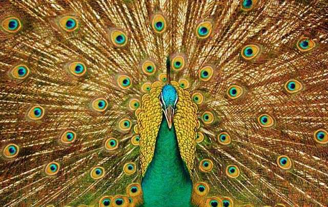 Gli occhi di Argo sulle piume del Pavone, sacro a Era