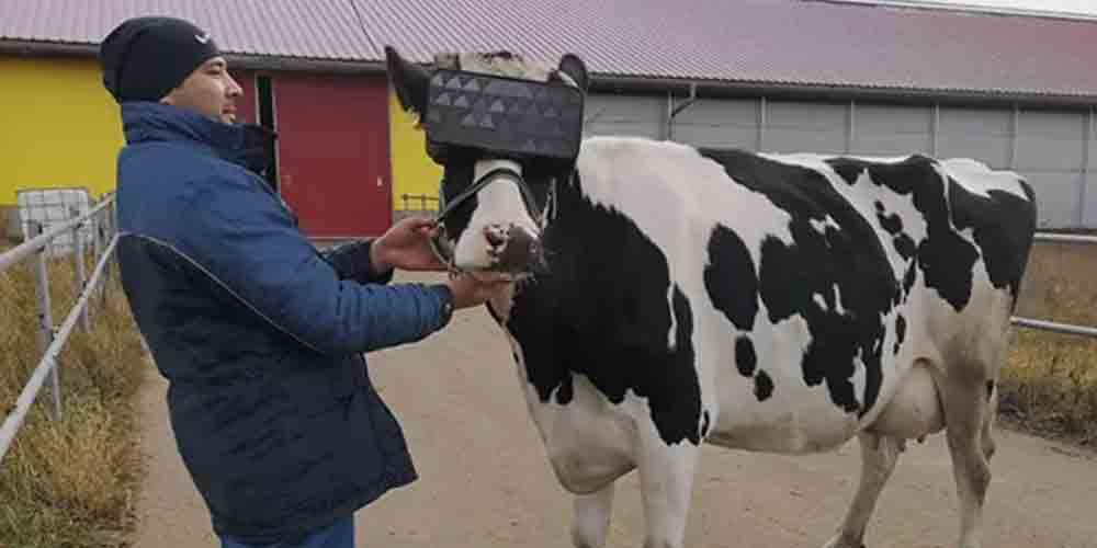 L'allevatore tiene la testa della mucca, con sopra il visore VR