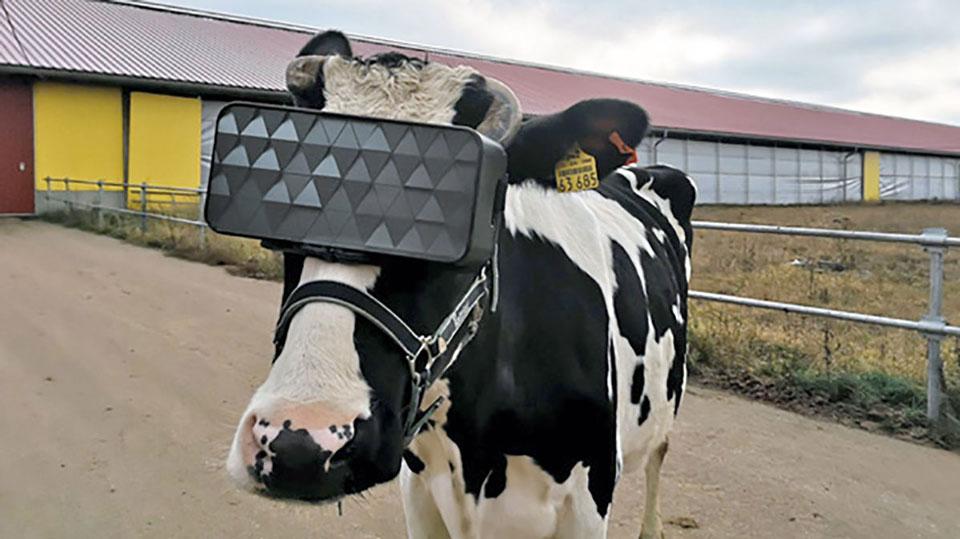 La mucca con il visore di realtà virtuale in testa