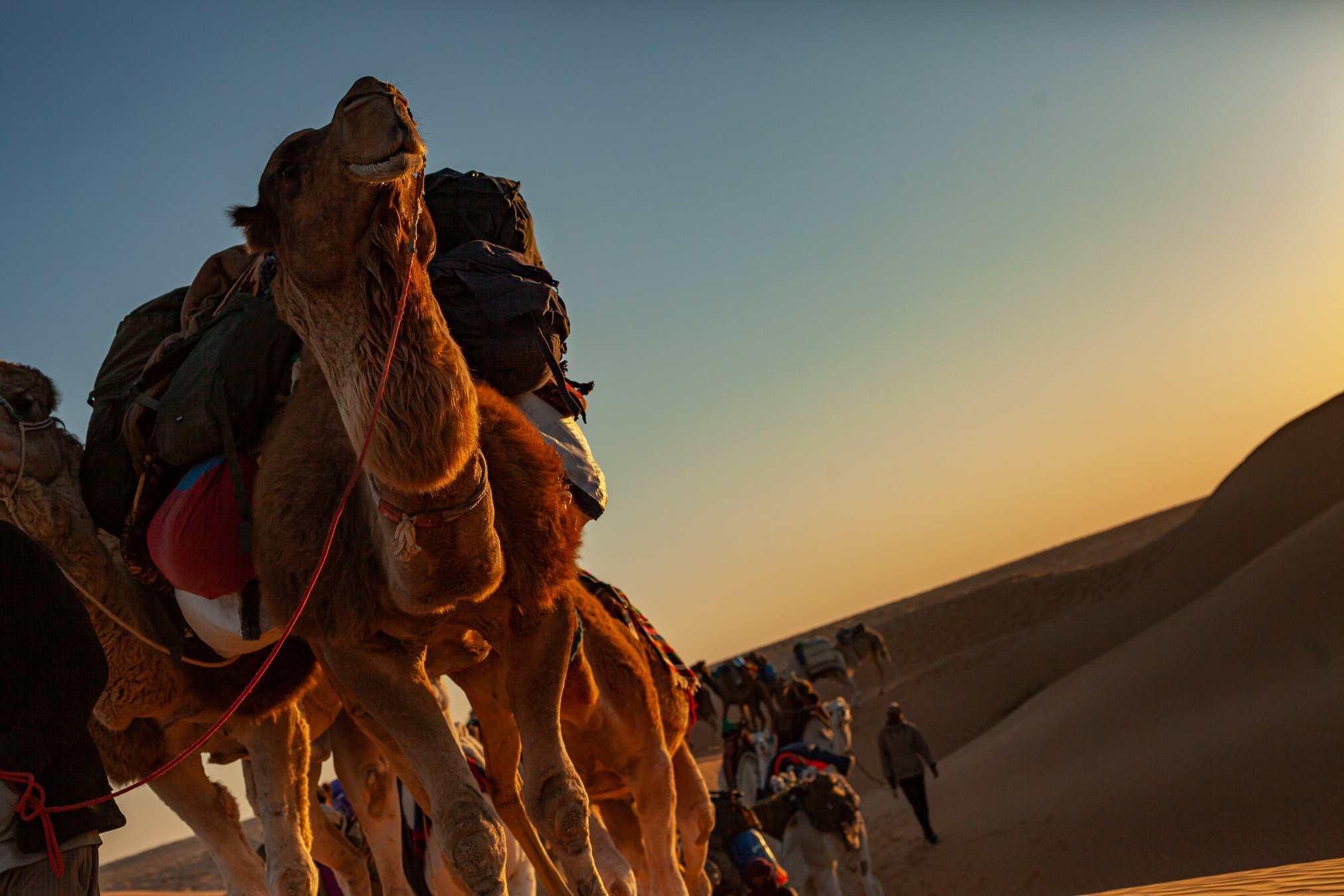 Sahara Expedition, Chaos League -Dromedario