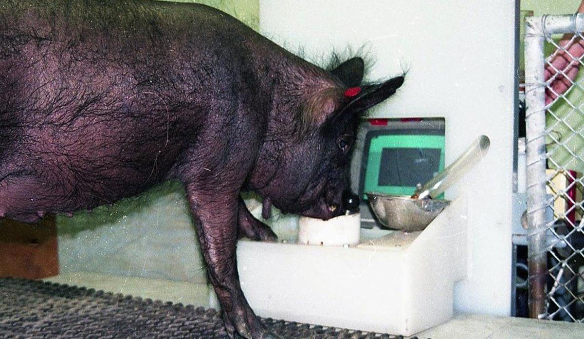 Ebony, maiale che gioca ai videogame