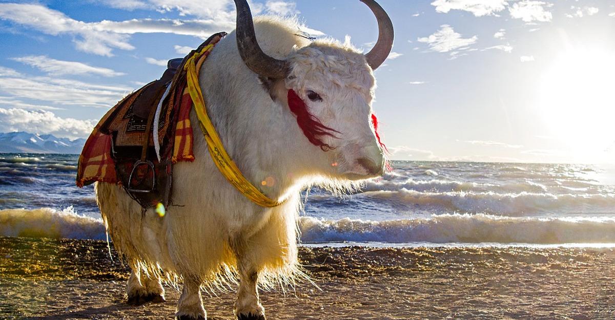 Yak bianco del Tibet
